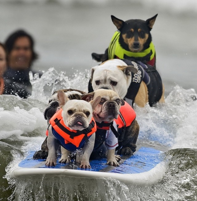 Surfing dogs 640x653 Surfing dogs