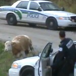 Cops shoot and kill escaped cows 150x150 Cops shoot and kill escaped cows